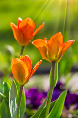orange tulip on color blurred background