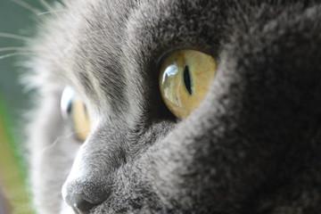 Fotobehang Leeuw cat's eyes, british blue shorthair