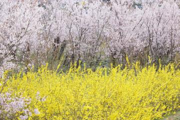 桜 さくら 風景