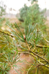 Needles on a pine branch