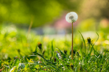 white dandelion on green grass blur background