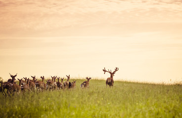 Herd of fallow deer running on forest glade