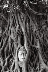 The head of Buddha with tree Roots