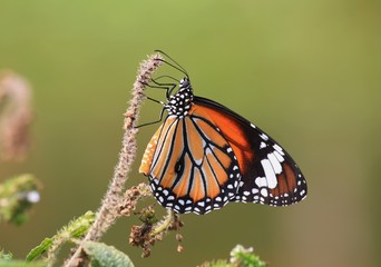Orange butterflies in Thailand