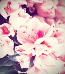 Flowers of an azalea of a grade of Mevrouw Gerard Kint close up