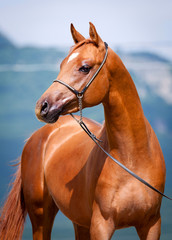 Chestnut young horse portrait, Arabian colt.