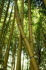 Bambus im Kaukasus