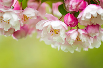 Pink and white spring blossoms on a green background