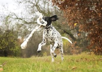auvergne pointing dog