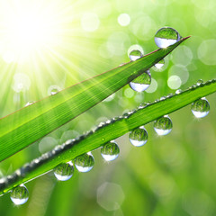 Wall Mural - Fresh grass with dew drops close up