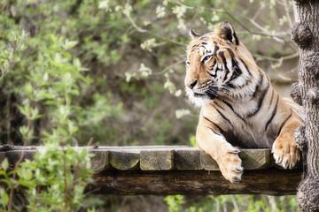 Resting Tiger Photo