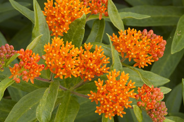 Butterfly Weed Flower