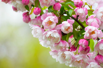 Branch of pink and white spring blossoms on a green background