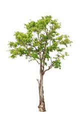 Pterocarpus indicus tree isolated on white background