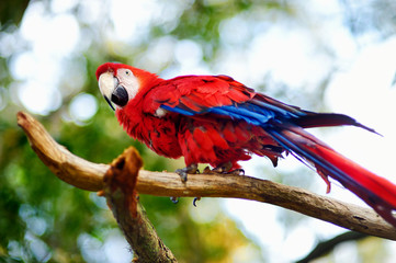 Red macaw parrot on a branch