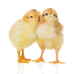 chickens on the white background