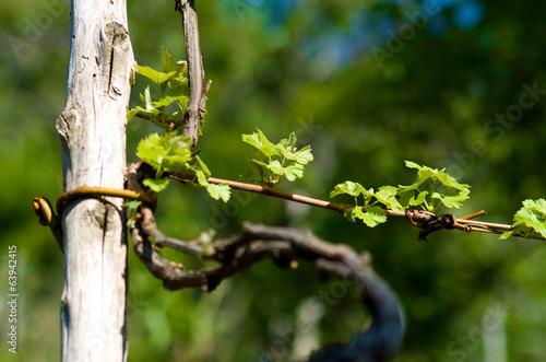 Grape plant in spring 63942415 - Planting grapevine in springtime steps ...