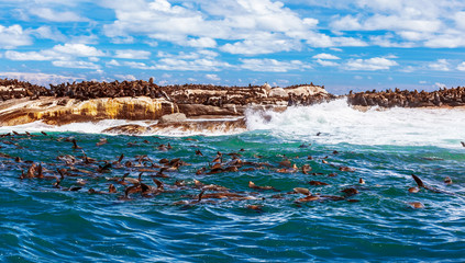 Wild South African seals