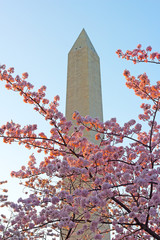 Sunset light on blooming cherry with Washington Monument.