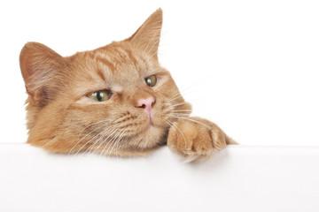 Rote Hauskatze schaut über eine weiße Tafel