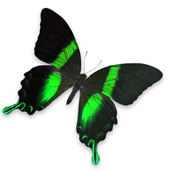 Beautiful Black and Green butterfly