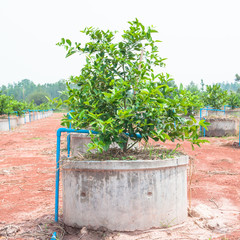 Drip irrigation system for growing lemons