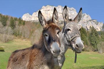 Photo sur Plexiglas Ane portraits d'ânes devant montagne