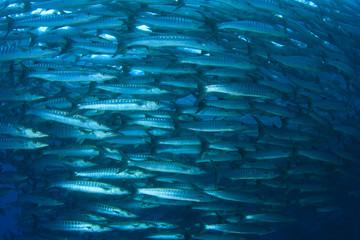 Barracuda Fish school in ocean