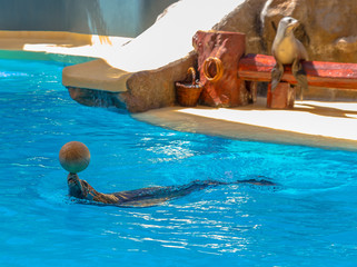 Sea lion playing with a ball in a water show
