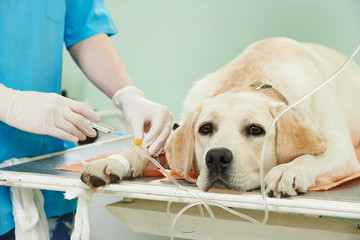 ladrador dog under vaccination in clinic