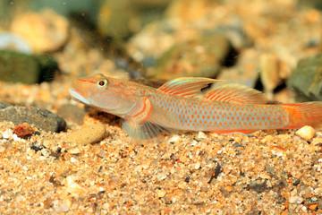 Rhinogobius flumineus goby fish in Japan