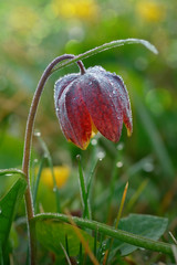 Snake's Head Fritillary with the morning dew