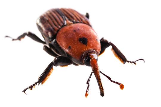 Big red weevil