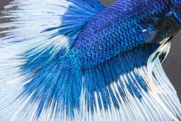 betta, siamese fighting fish skine texture
