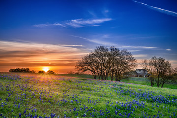 Fototapeta Texas bluebonnet wildflower spring field at sunrise