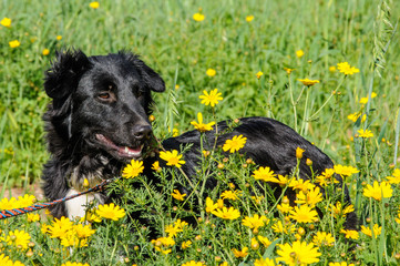 Black dog in a meadow of flowers