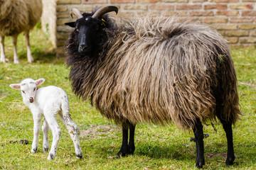 Acrylic Prints Sheep Nieuwsgierig lammetje