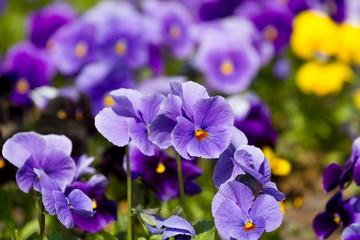 Wall Mural - Viola flowers field