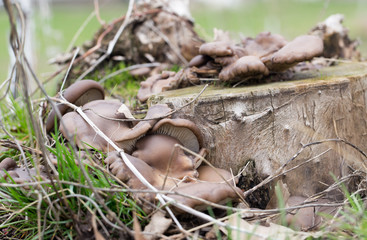 oyster mushrooms in nature