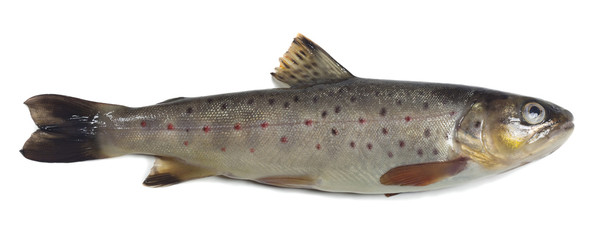 Brown trout, Salmo trutta fario isolated on white background
