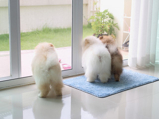 three pomeranian puppy dogs in home looking outside