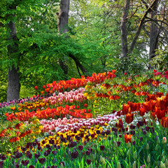 Fototapete - Colorful tulips in the park. Spring landscape.
