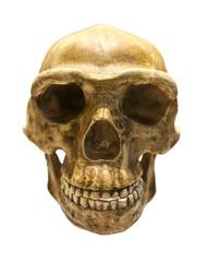 Fossil skull of Homo Antecessor