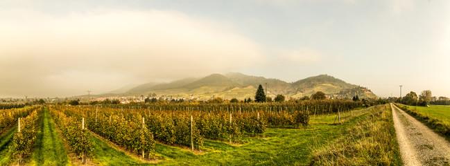 Apfelbaumplantage im Schwarzwald
