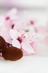 Lilac flowers of fruit tree (apple).Shallow dof.