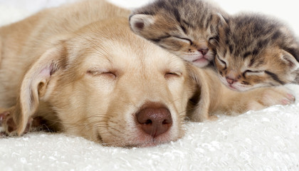 Wall Mural - puppy and kittens sleeping together