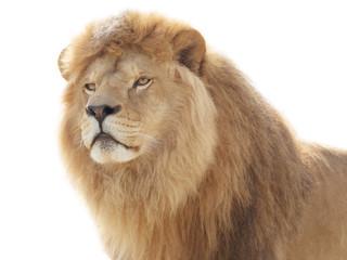 Fototapete - Proud lion