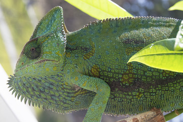 Close-up of a mad crazy Veiled Chameleon on a plant