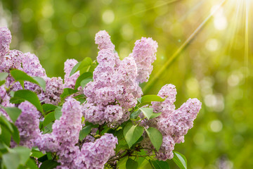 purple lilac on color blurred background