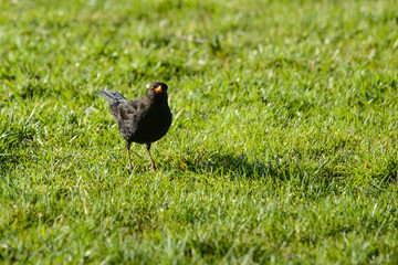Blackbird on a lawn looking into the camera